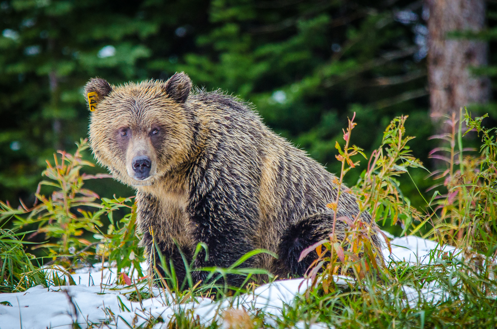 Orbitz-Canada-Photos that will make you wish you were Canadian-Grizzly Bear-Banff-GettingStamped-1-1