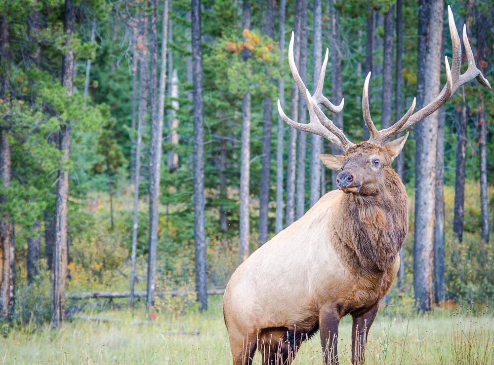 Large Male Elk in Jasper National Park - Alberta, Canada