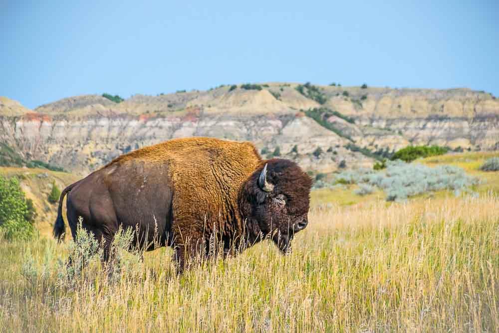 Orbitz-7 reasons North Dakota is cooler than you tought-buffalo-TRNP-1