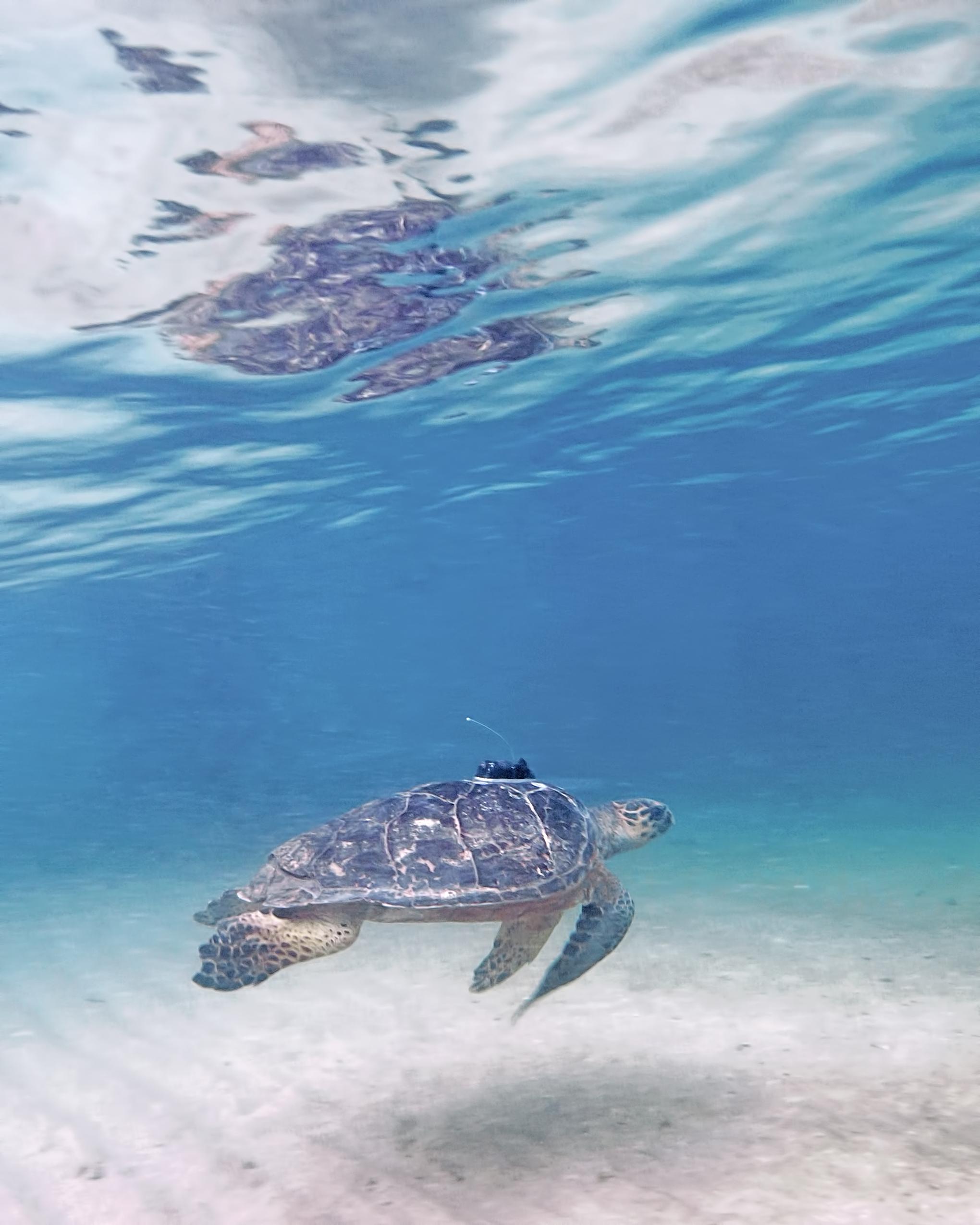 underwater photography sea turtle nevis west indies