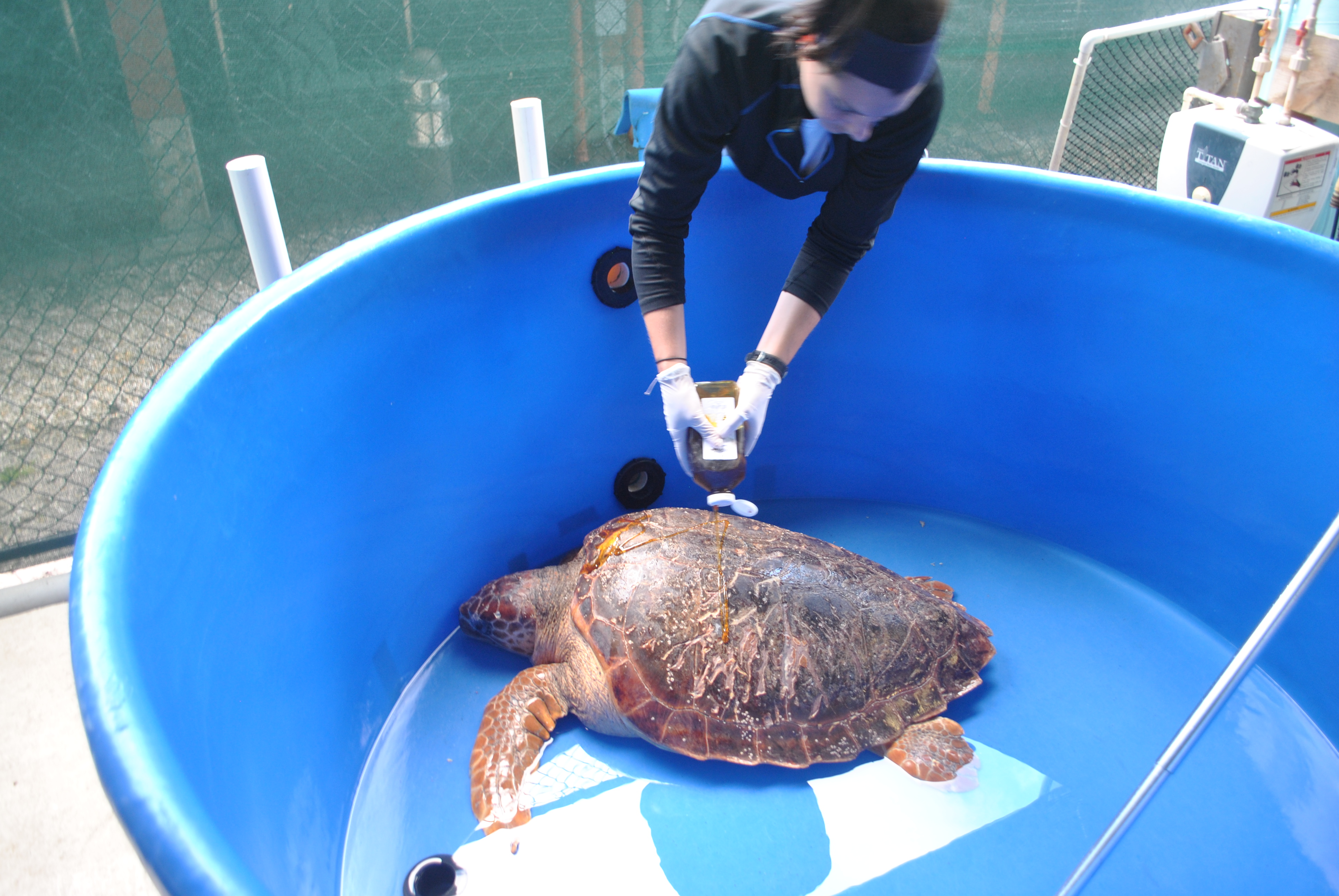 A worker applies honey to an injured turtle's shell to help it heal at Gumbo Limbo.