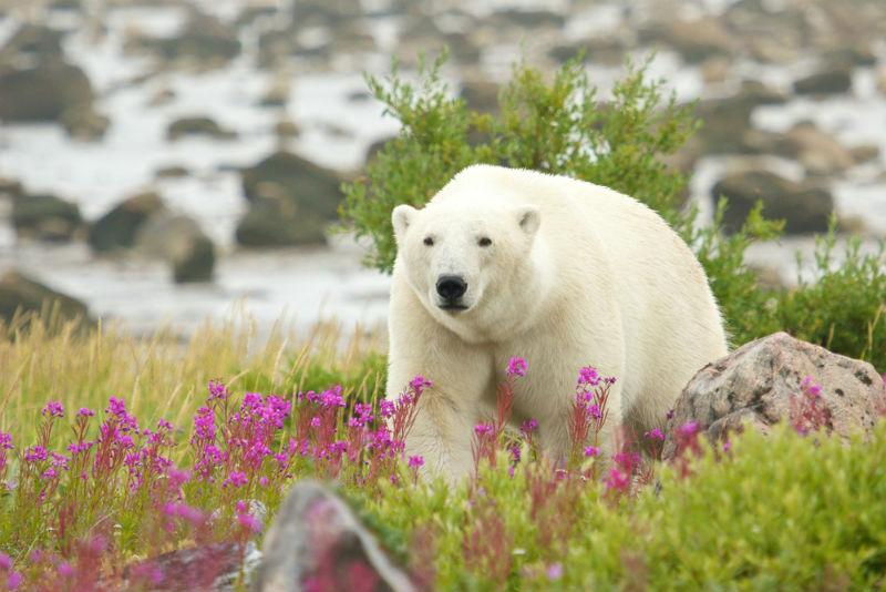 Manitoba, Churchill, Canada, polar bears, nature, travel
