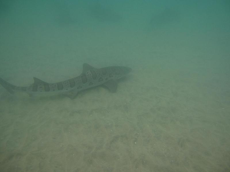 leopard sharks-la jolla san diego
