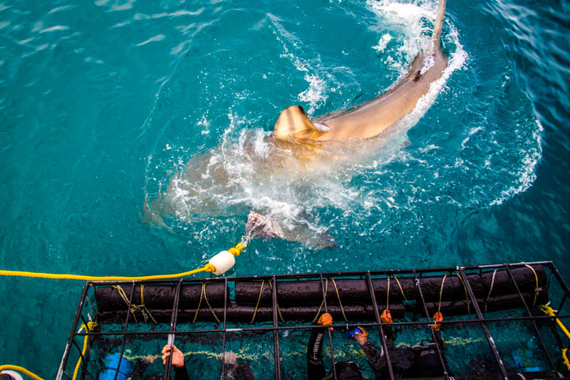 Orbitz-Shark Cage Diving South Africa -Getting Stamped-1