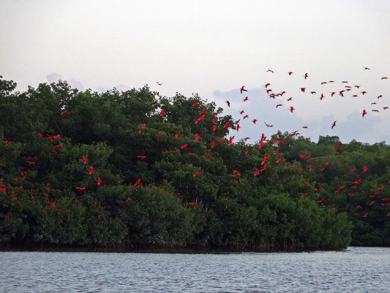 See the scarlet ibis' while on the swamp cruise | Flickr CC: amanderson2