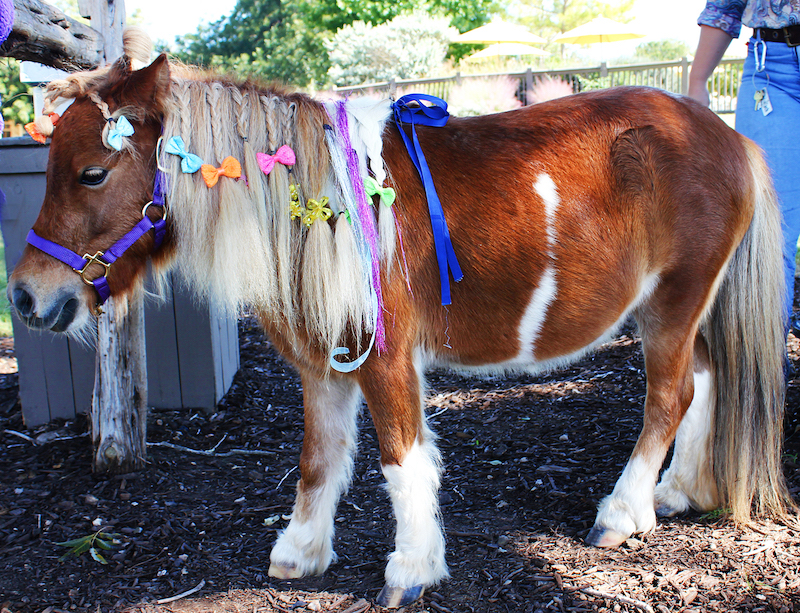 Feather the miniature horse | Photo courtesy of