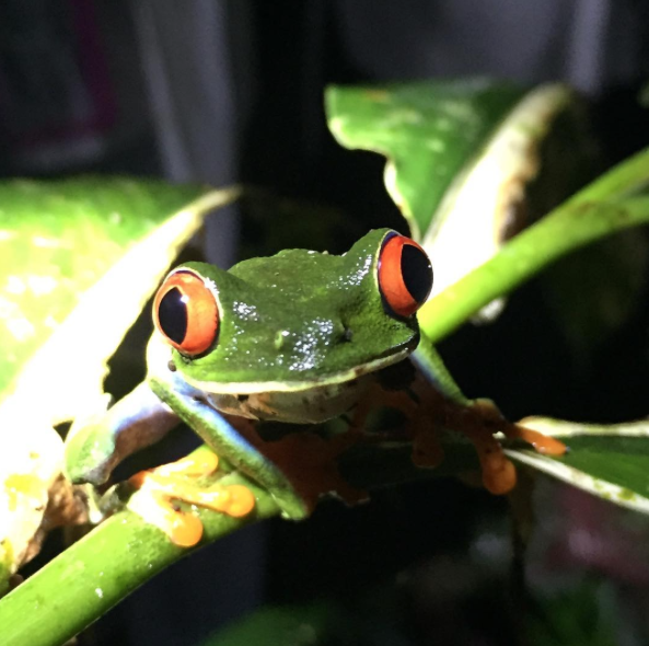 Tree frogs are easy to spot after dark at Tabacón Thermal Resort & Spa. Photo courtesy of Diamond Public Relations.