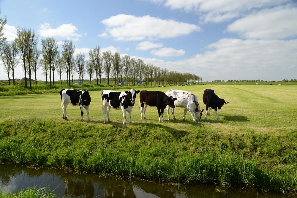 Belgian cattle...feeling #blessed