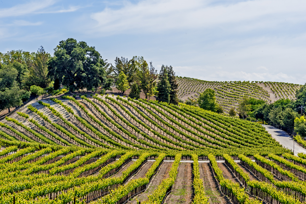Rolling wine vineyards in Paso Robles