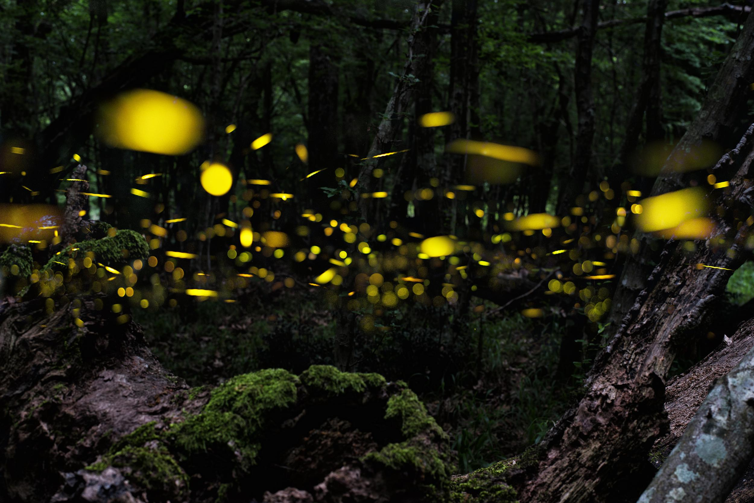 Firefly. Night in the forest with fireflies. Multiplication.