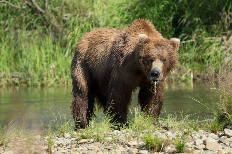 grizzly bear, wildlife, nature, alaska