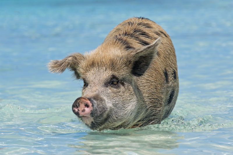Swimming pigs of Exuma, Bahamas, Caribbean