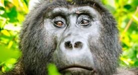 Mountain Gorillas - GettingStamped