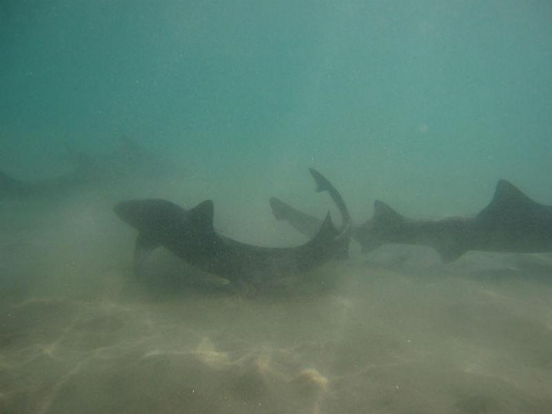leopard sharks, La Jolla, San Diego, California