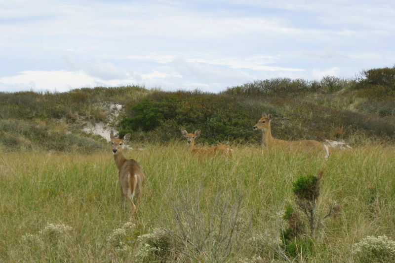 Fire Island, White Tailed Deer, New York