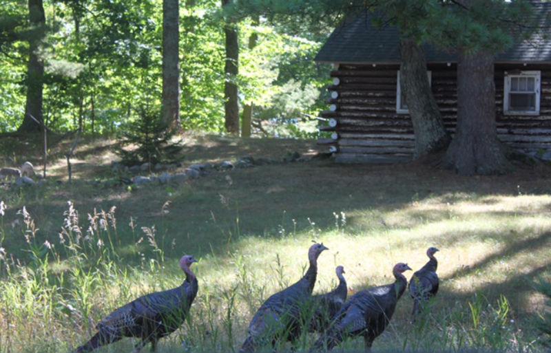 Beaver Island, Michigan, turkeys