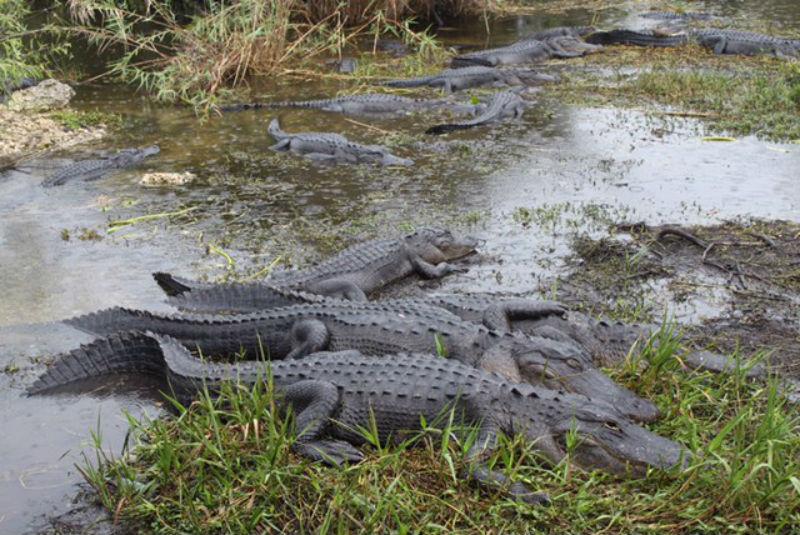 alligators, everglades, florida, anhinga trail