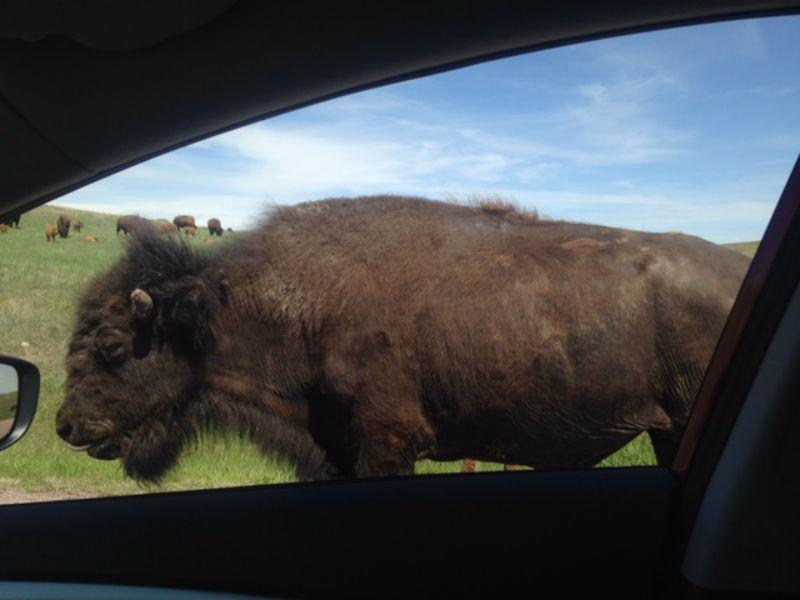 south dakota, custer state park, animals