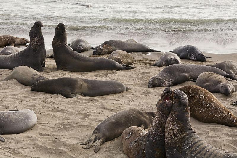 elephant seals, san simeon, California
