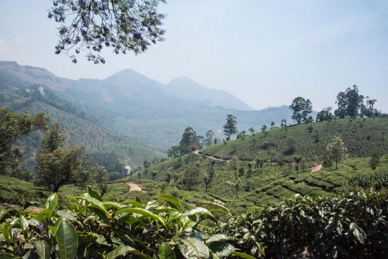 Munnar tea fields, Kerala