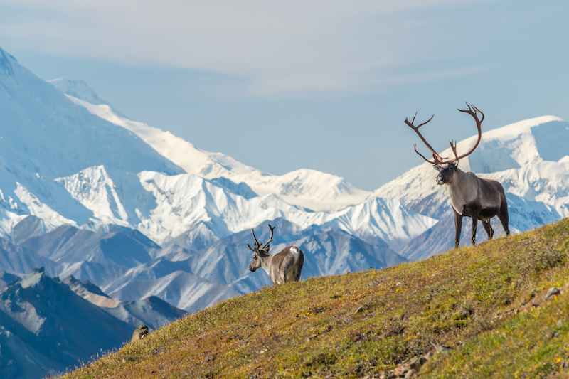 Majestic caribou bull in front of the mount Denali, ( mount Mckinley), Alaskal (Majestic caribou bull in front of the mount Denali,