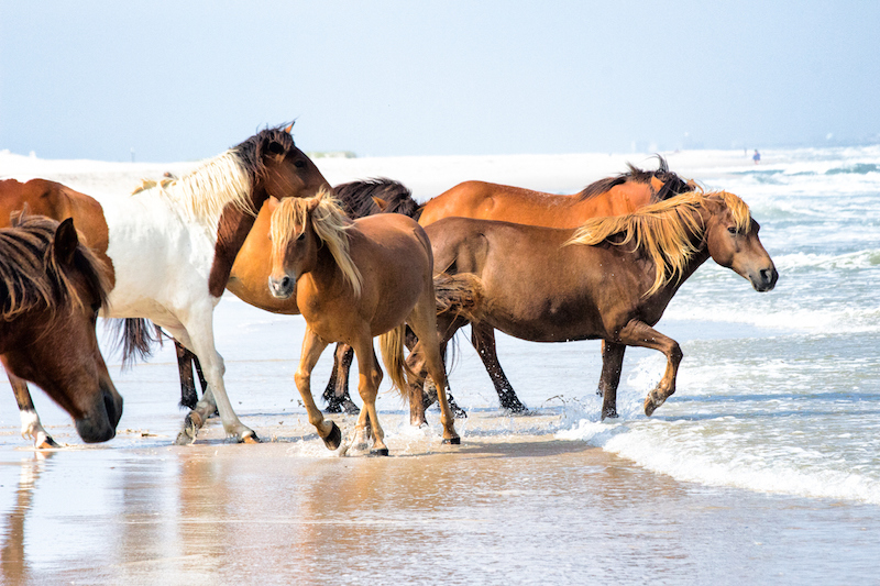 Wild horses running through the waves in Assateague Island National Seashore.