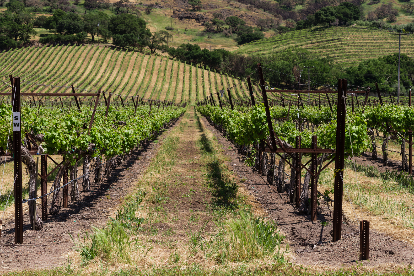 California vineyards have a different trellis system to other places
