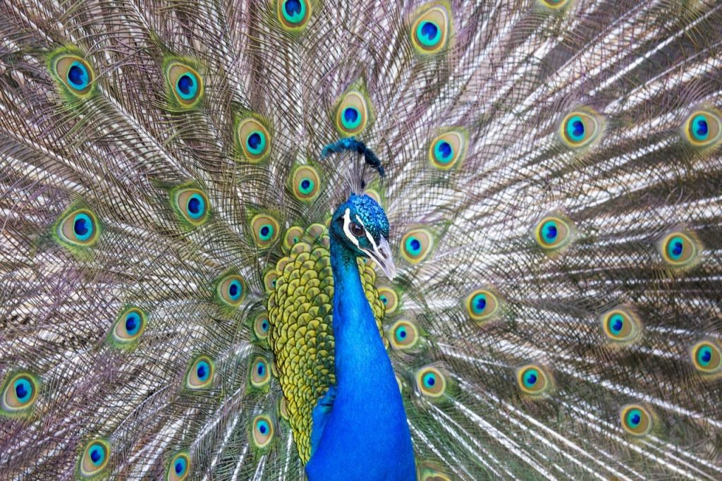 peacock-the-bronx-zoo