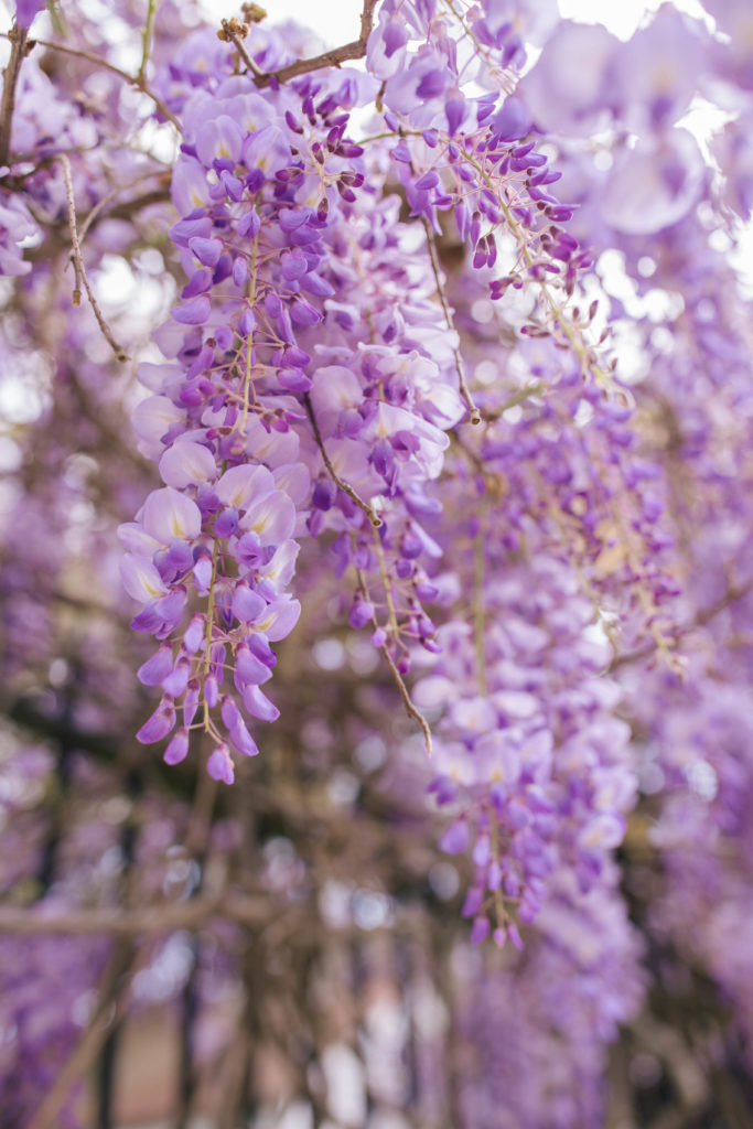 Wisteria in Bloom Charleston | Rhyme & Reason