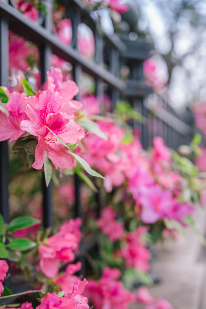 Azaleas in bloom during Charleston's spring | Rhyme & Reason