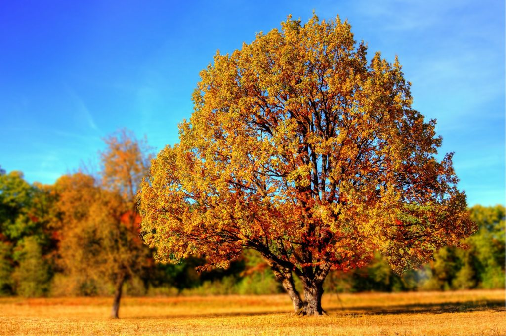 fall tree with yellow leaves
