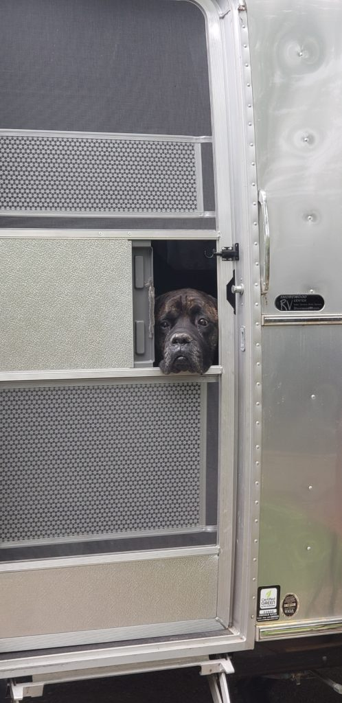 Large black dog sticks its head out the opening of the screen door of an RV.