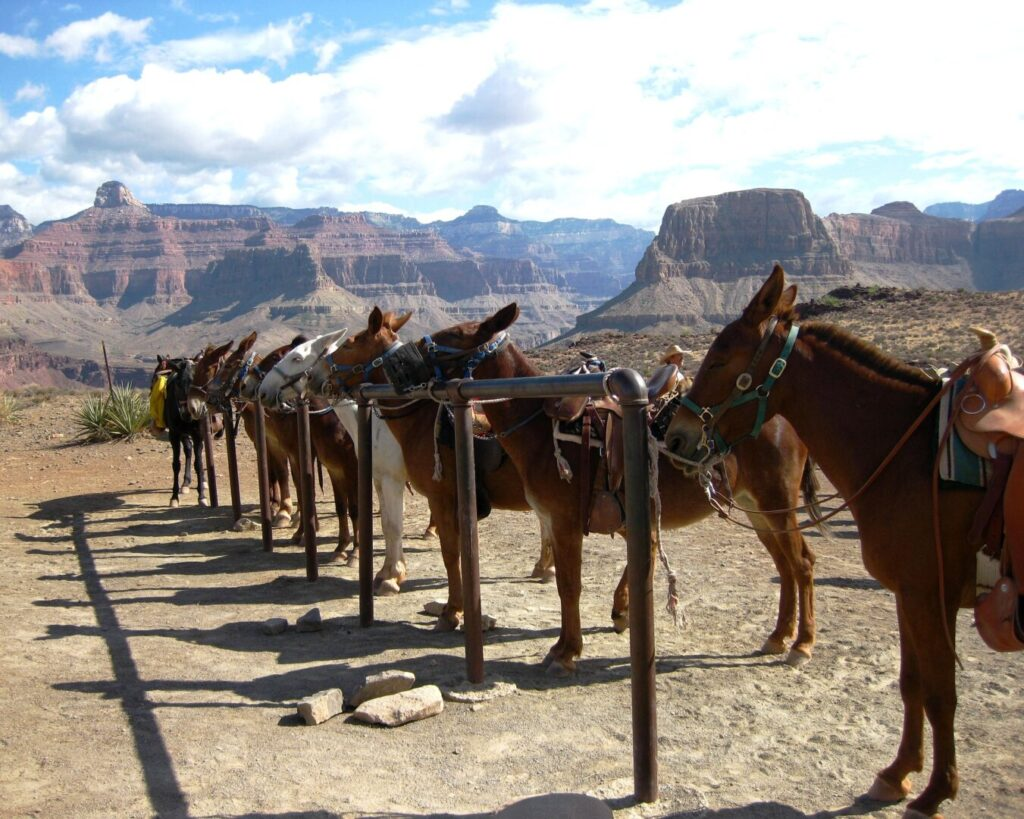 Mule Trips at Grand Canyon