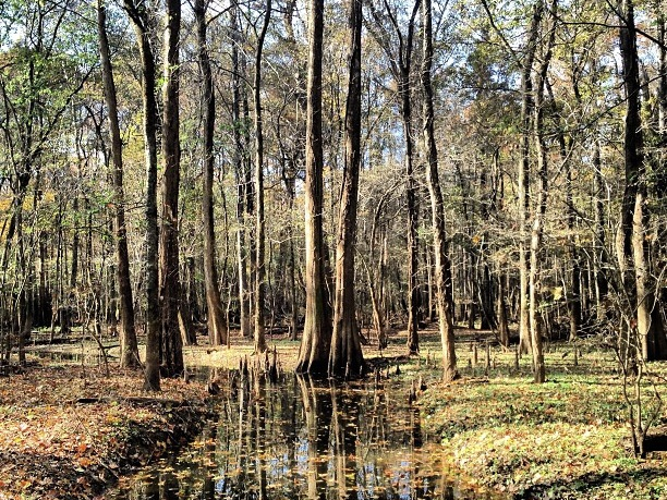 Congaree National Park leaves falling from trees