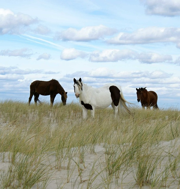 wild ponies on Chincoteague Island