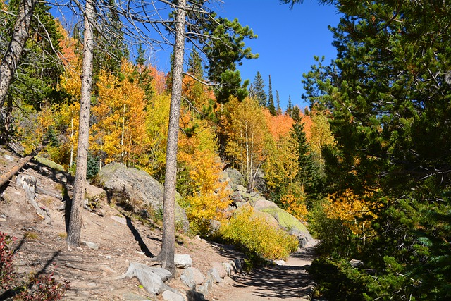 aspens turning yellow in Colorado