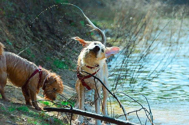 dogs shaking off after a swim in a lake