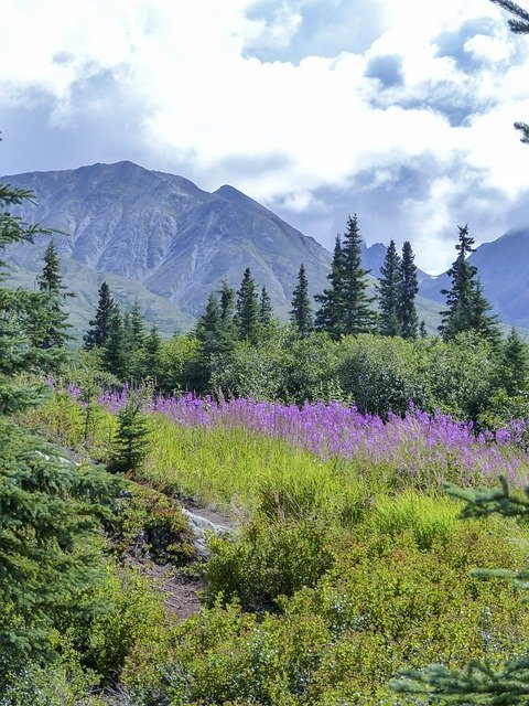 a mountain peak at Denali National Park with purple wildflowers blooming in the foreground