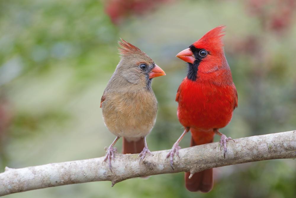 Northern Cardinal Mates Facing Each Other