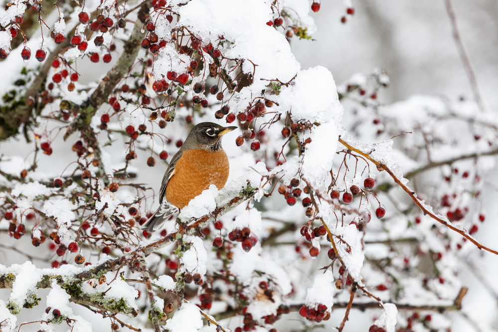 American Robin in a snowy berry bush