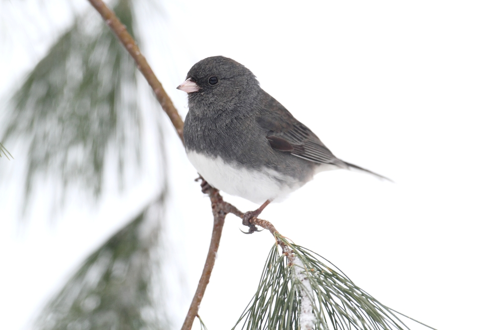 Dark-eyed Junco (junco hyemalis) on a snow-covered branch
