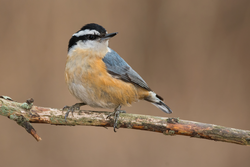 A Red-breasted Nuthatch is perched on a dead branch looking over its shoulder.