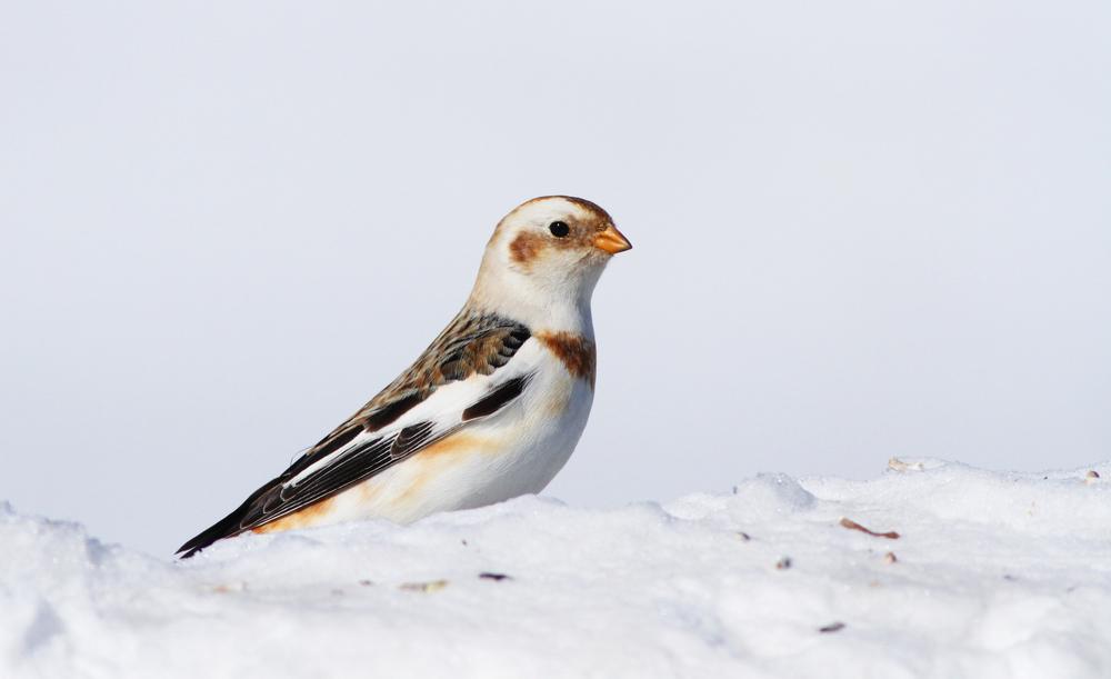 Snow bunting bird in winter