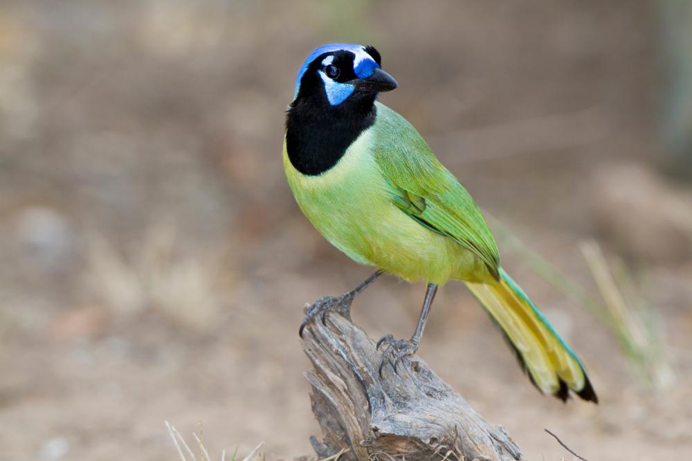 Green Jay (Cyanocorax yncas) on perch Starr, Texas, USA.