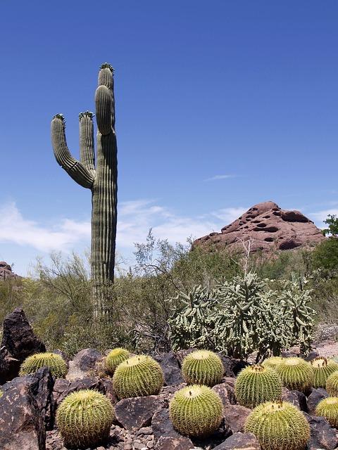 Cactus in a desert in Phoenix