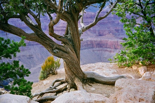 A tree in the foreground with the Grand Canyon in shades of purple beyond