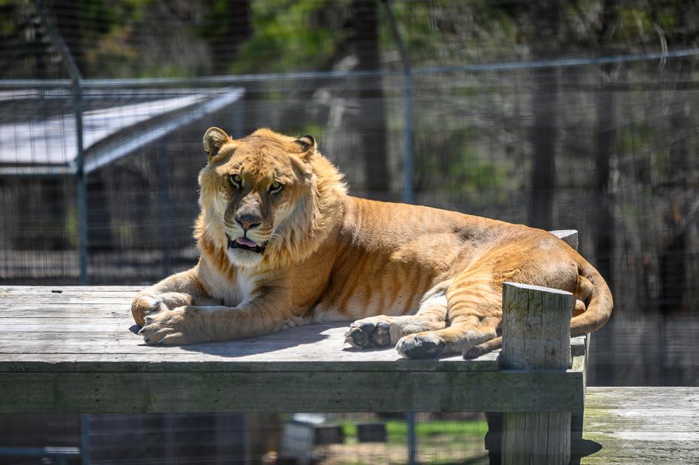 turpentine creek wildlife refuge liger