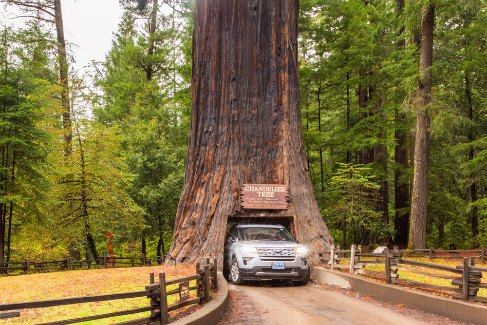 """Leggett, CA, USA - September 18, 2019: Chandelier Drive Through Redwood Tree in Leggett, Northern California, USA. The name """"Chandelier Tree"""" comes from its unique limbs that resemble a chandelier."""