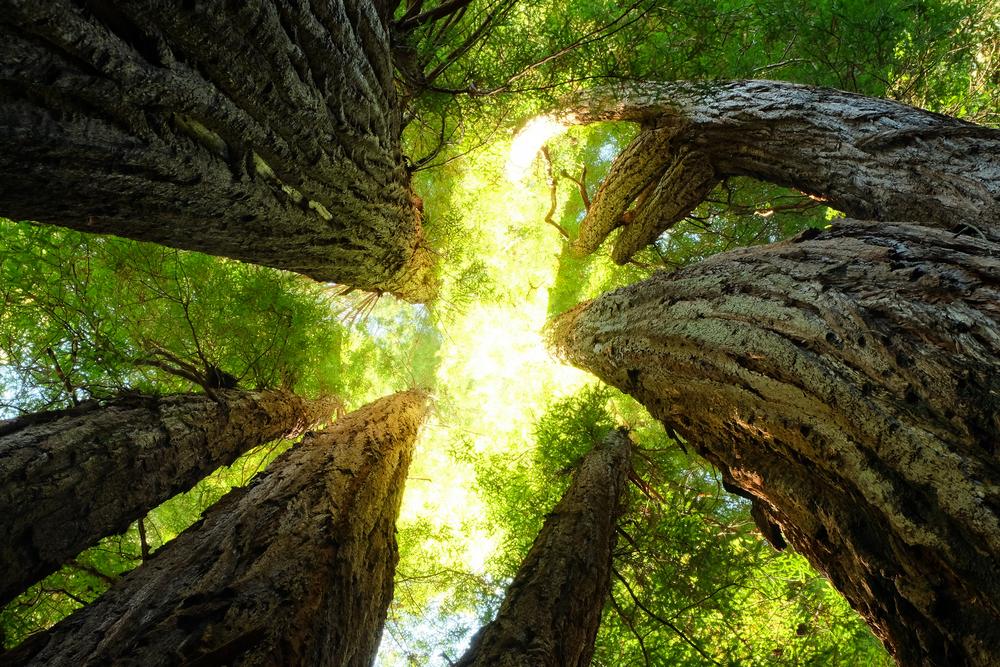 Giant Redwoods Reach Toward the Sky. Humboldt, Redwood National Park, California.