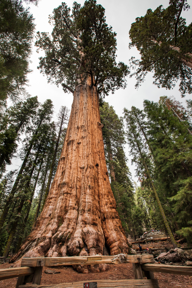 General Sherman Tree at Sequoia and King's Canyon National Park - Forest full of giant Sequoia trees